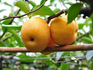 日本豐水梨